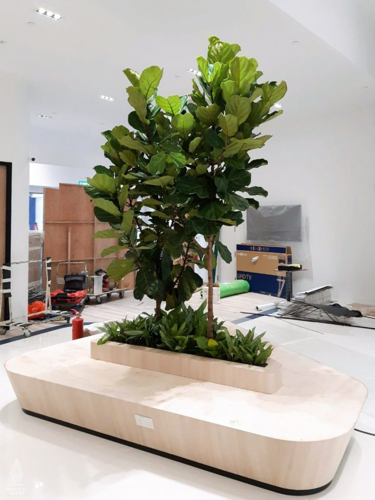 big ficus tree planter office lobby